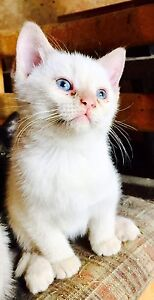 Flame point Ragdoll cross