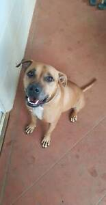 Affectionate Staffie Ridgeback cross looking for his new family