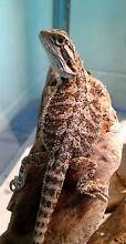 CENTRAL BEARDED DRAGON HATCHLINGS Wonga Cairns Surrounds Preview