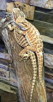 Red phase leather back Bearded Dragon pairs for sale