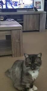 Male ragdoll cross cat