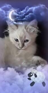 Female ragdoll kitten 12 weeks old