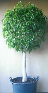 Ficus Topiary Standard Fat Trunk Tree Plants PERTH Landsdale Wanneroo Area Preview