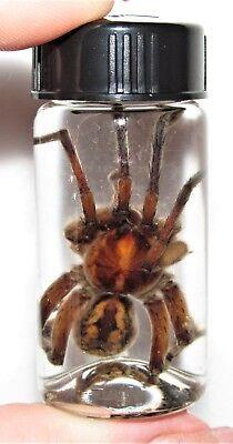 REAL HUGE AZ WOLF SPIDER TARANTULA PRESERVED WET SPECIMEN ENTOMOLOGY 2.5in VIAL (Spider Tarantula)