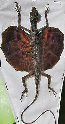Draco Flying Dragon Lizard (Red) Taxidermy  FAST SHIP FROM USA
