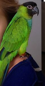 WANTED : Lost  family PARROT Parkside Unley Area Preview