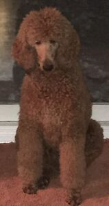 Beautiful Red Standard Poodle Female (Pure Breed)