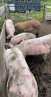 ***Sold pending pick up*** weaner piglets