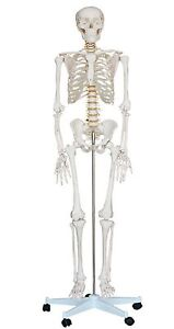 NEW 1st QUALITY LIFE SIZE HUMAN ANATOMICAL ANATOMY SKELETON MEDICAL MODEL +STAND