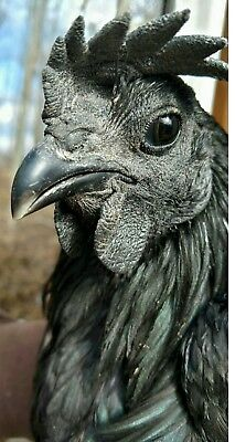 3 Pure Ayam Cemani Fertile Hatching Egg Totally Black Exotic Rare Breed Chicken