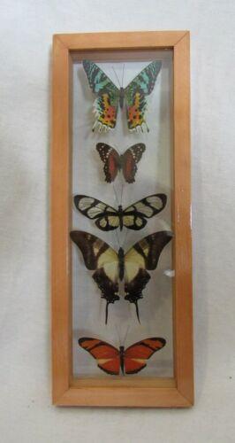 Framed Peruvian butterfly display - 5 elegant colorful species - Urania Rypheus!