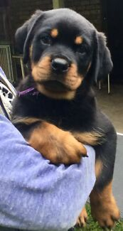 ROTTWEILER FEMALE PEDIGREE PAPERS