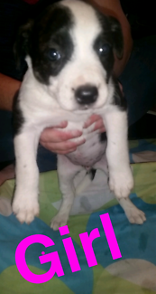 English Staffy Cross Pups for sale
