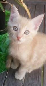 9 week old ginger kitten looking for forever family