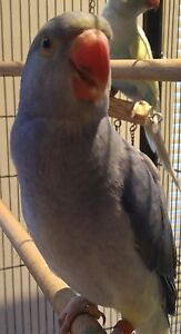 Young Female Pastel Violet Cleartail Indian Ringneck Ingleburn Campbelltown Area Preview