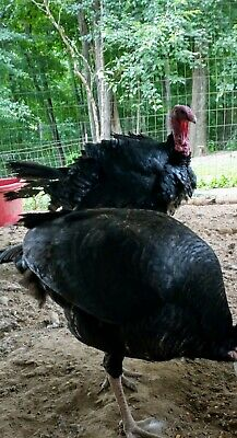 Artisan Gold Turkey Hatching Eggs