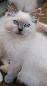 Ragdoll kittens Warragul Baw Baw Area Preview
