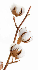 Cotton-Boll-3-bolls-White-Raw-Cotton-Plant-Bolls-for-Crafts-Education