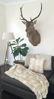 Mounted deer head  Connells Point Kogarah Area Preview