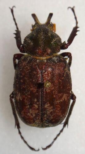 Scarabaeidae Inca bonplandi Male 31.2mm Brazil #E2 Beetle Insect Coleoptera