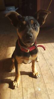 purebred kelpie puppy for sale Temora Temora Area Preview
