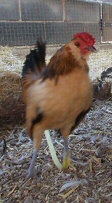 Quail Belgian Bearded Danver Bantam Chicken Eggs 6 Six