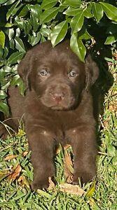 Stunning purebred English Labrador male last one