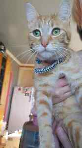 Give away to good home female ginger cat Launceston Launceston Area Preview