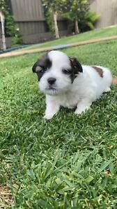 Wanted: Lhasa Apso cross Shitzu pups for sale