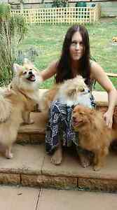 Long Term Dog Sitter / Foster Care for toy breed dogs. Quakers Hill Blacktown Area Preview