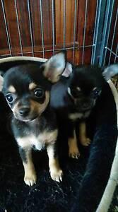 Black & Tan Tri  Registered male pup 10 weeks old. Burnie Burnie Area Preview