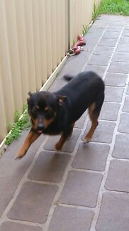 Chihuahua cross foxy male Hoxton Park Liverpool Area Preview