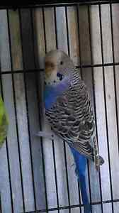 Violet young female budgie Bray Park Pine Rivers Area Preview
