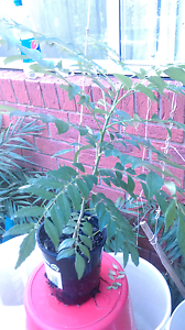 Curry plant for sale Roxburgh Park Hume Area Preview