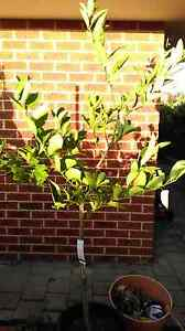 Eureka lemon tree Canning Vale Canning Area Preview