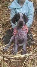 Woodlieghton German Shorthaired Pointers Maclagan Toowoomba Surrounds Preview