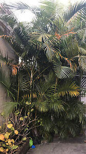 Free gorgeous large palms Paddington Eastern Suburbs Preview
