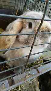 Lop rabbit free Two Wells Mallala Area Preview