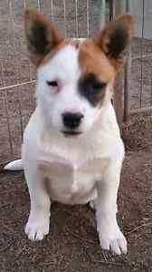 FEMALE Red cattle dog x labrador Badgerys Creek Liverpool Area Preview