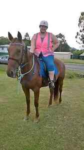13 year old 16hh chestnut standardbred mare. Kilkivan Gympie Area Preview
