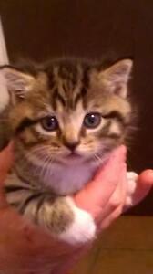 Bob tail kittens. ( no tail ) Dubbo Dubbo Area Preview