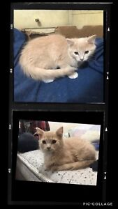 Kitten for sale, this is a repost*