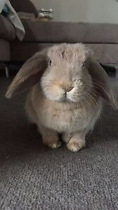 Mini lop rabbit wanting a nice new home St Kilda Port Phillip Preview