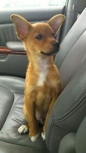 3 months Jack Russell Terrier puppy ready to go to a new home