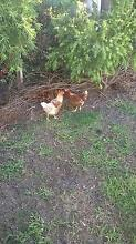 for sale chooks Dalby Dalby Area Preview