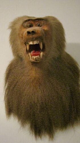 Rare Baboon shoulder mount head