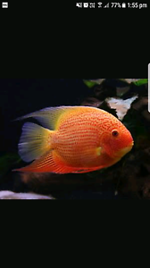 Wanting Red Severums Whyalla Stuart Whyalla Area Preview