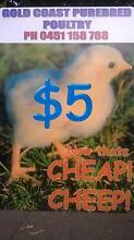 OPEN SUNDAY FOR CHICKENS, CHICKS, DUCKS, FEED/SUPPLIES Mudgeeraba Gold Coast South Preview