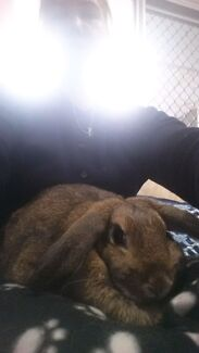 Dwarf Lop X Dwarf Lop X Agouti brown Mopsy female  Canning Vale Canning Area Preview