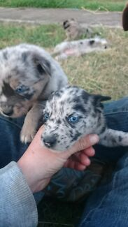 Koolie Merle X female pups vacs and microchiped done  Rosewood Ipswich City Preview